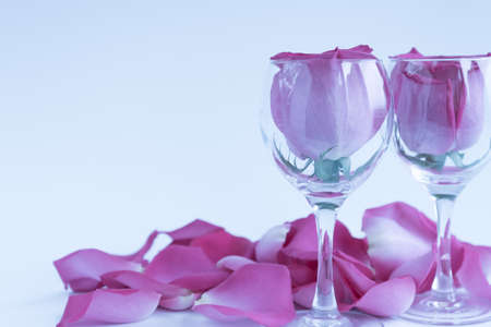 Large heads of fresh roses in wine glasses. Two glasses of roses surrounded by flower petals. White background. Concept. Love, freshness, relationships, romance.