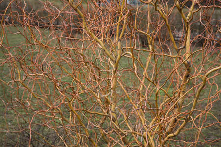 Bare branches of a curly tree. Willow background texture Banque d'images - 144174183