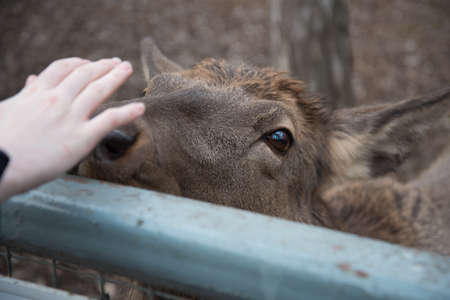 A deer reaches out to a visitor at the zoo. The animal wants affection and communication. Concept.