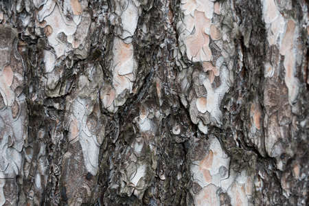 Close-up of the trunk of a coniferous tree. The structure of the cortex Banco de Imagens