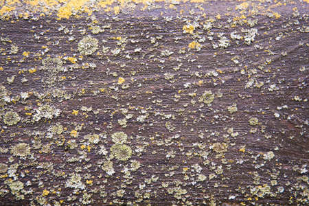Lichen growing on a smooth, even surface. Background, texture Natural