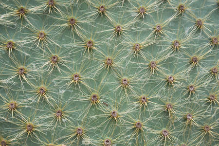 Close-up of cactus needles. Background, texture. Natural pattern, geometry.