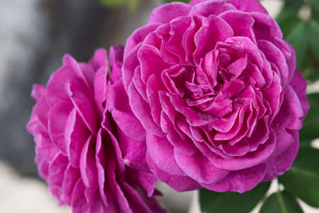 Large, fully opened flowers of the rose. An intense pink color. Postcard, background, texture.