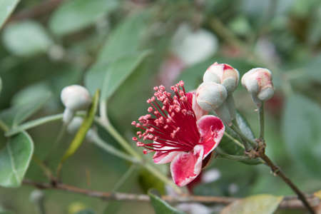 A close-up of a red flower on a feijoa tree. Space for text.