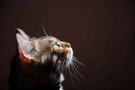 Portrait of a Bengal cat on a dark background. Side sunlight. The cat 版權商用圖片