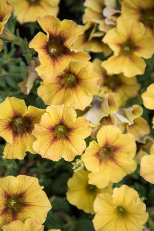 Yellow flowers in a flower bed, top view. Summer time, background