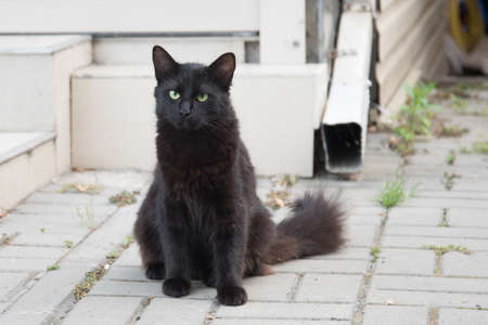 A black cat with a bushy tail. The cat is sitting on the street and looks at the camera. Sign.
