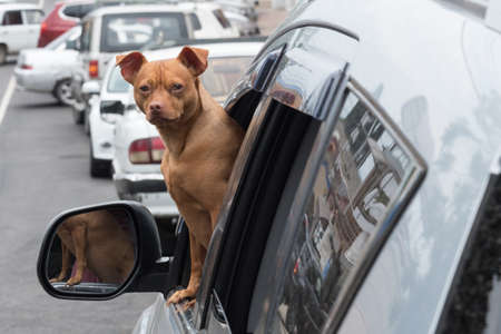 A small red dog looks out of the car window. The dog looks directly at the camera. Companion dog. Curiosity.