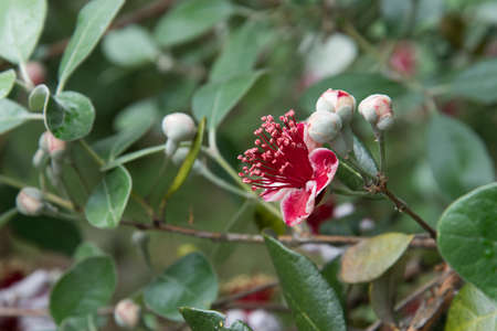 A close-up of a red flower on a feijoa tree. 版權商用圖片