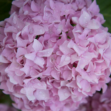 Close-up of hydrangea flowers. An intense pink color. Flowers in drops of rain or dew. Purity 版權商用圖片