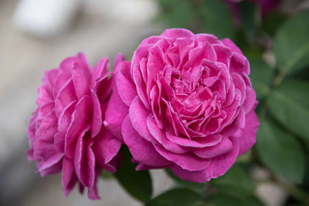 Large, fully opened flowers of the rose. An intense pink color. Postcard, background 版權商用圖片