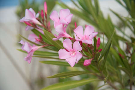 Oleander flower close-up. Postcard, background, texture Delicate pink Archivio Fotografico