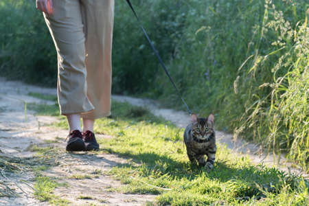Walking a cat on a leash. The owner and the animal are walking along the road. Sun