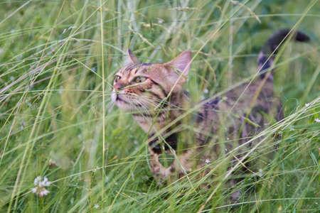 Bengal cat on a walk in the green grass. A small predator 版權商用圖片