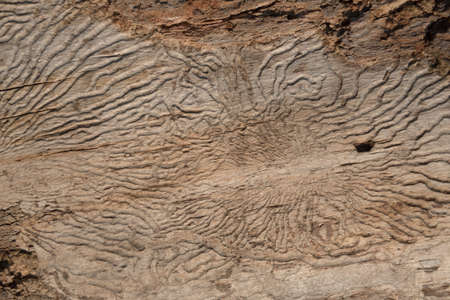 Structure of a worm-eaten tree. Insect passages, natural pattern. Background Archivio Fotografico