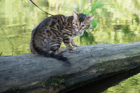 The cat sits on a log and looks at the water. The cat is very upset, emotions of horror and fear. The animal is afraid of water. Archivio Fotografico
