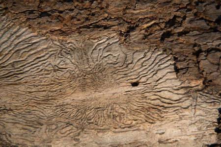 Structure of a worm-eaten tree. Insect passages, natural pattern. Background 版權商用圖片