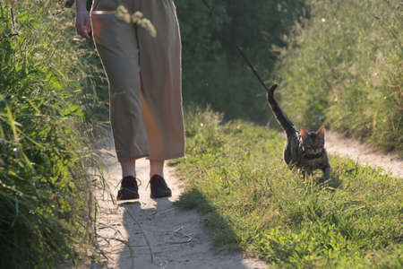 Walking a cat on a leash. The owner and the animal are walking along the road. Sun 版權商用圖片