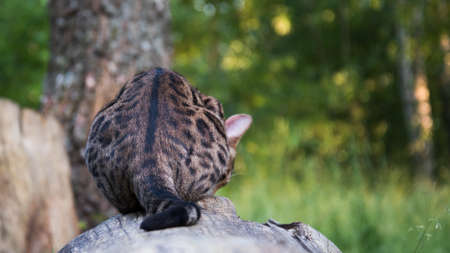 A beautiful cat is sitting on a log with its back to the camera. Bengal cat hunts. Little Archivio Fotografico