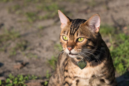 Bengal cat in the sun, sitting on a log. Rich colors, greenery and warmth. Close-up