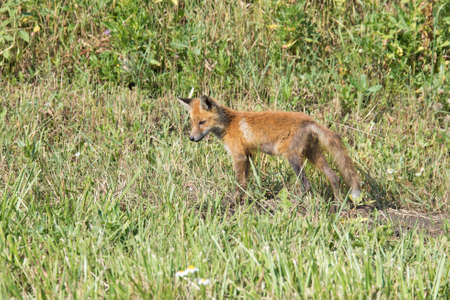 A small Fox cub looks for food on the side of the road. The skinny and dirty kid is hungry. Orphan. Archivio Fotografico