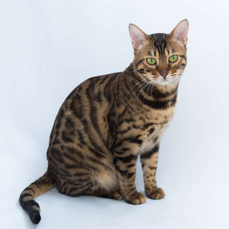 Portrait of an adult Bengal cat close-up. Cat on a white background. The cat looks carefully at the camera