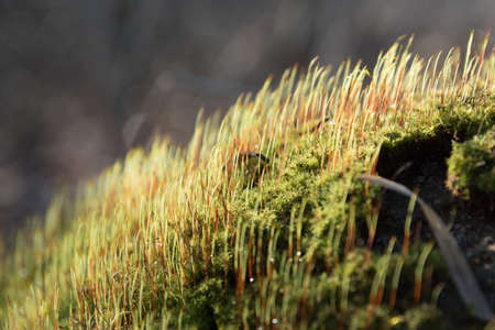 Many young sprouts of moss in the sun. Spring growth of moss. The texture of green shoots