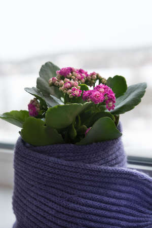 The flower in the pot is carefully wrapped in a scarf. The plant stands on the windowsill, the winter weather is visible outside the window. The concept of care and love
