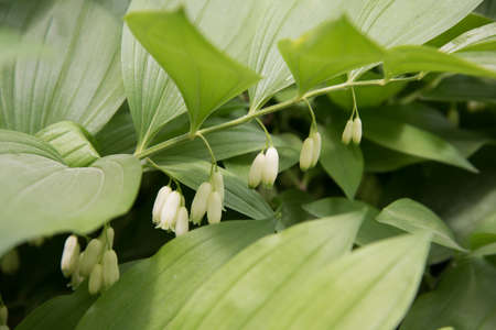 Polygonatum hirtum, flowering plant. A plant with white hanging flowers. background, texture