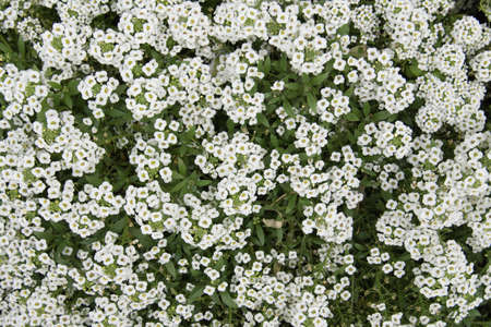 Top view of small white flowers. Floral background, texture