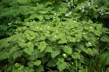 A bright green bush with small yellow flowers. Green vegetation in the open ground Stok Fotoğraf