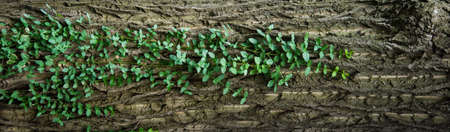 Wallpaper. Green stems stretch along the trunk of the tree. Natural background. Tree bark and climbing plant Stok Fotoğraf