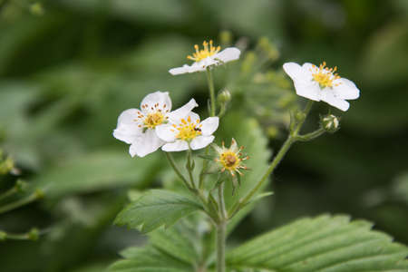 Close-up of white flowers of garden strawberries. Strawberries are in bloom