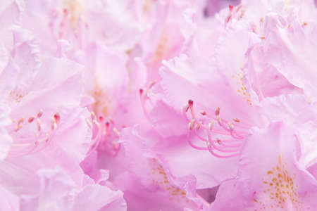 Pink floral background. A delicate pastel shade. Flower petals close-up Stok Fotoğraf