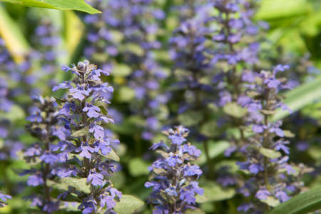A flowering plant with small purple inflorescences. Background, texture. Medicinal plant