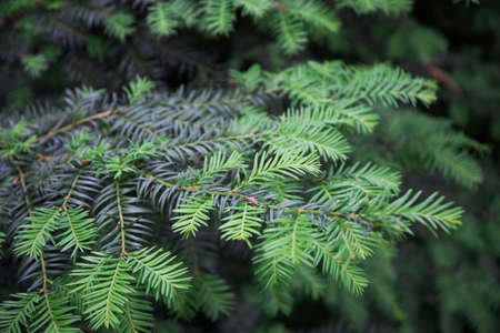 Metasequoia. Plant branch close-up. Green coniferous background, texture. Young, lighter shoots are clearly visible Stok Fotoğraf