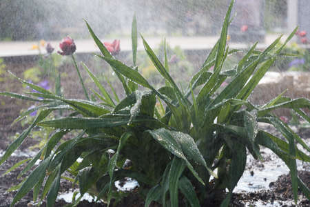 Water drops on the leaves of tulips. Watering or raining. Pon, texture