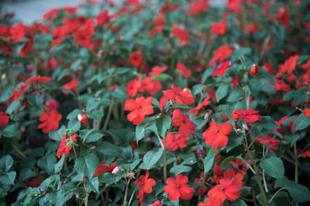 Red balsam flowers. Bright inflorescences on a green background, plant texture