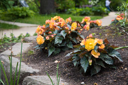 Young begonia bushes grow in a flower bed. Large yellow inflorescences