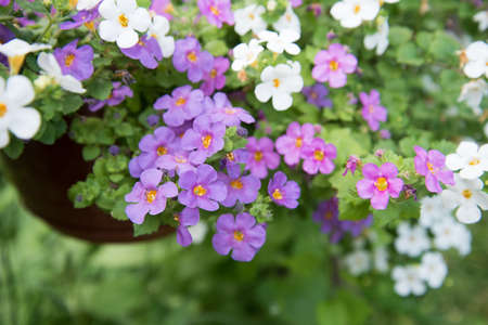Cute little Bacopa flowers. Flowers close-up of lilac, pink and white
