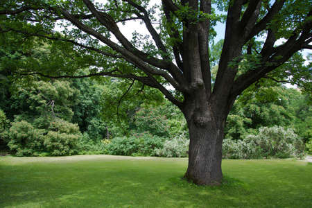 Lush green lawn under a large tree. A place to rest. Nature and greenery around. The tree provides shelter from the sun. Shelter under the branches of a spreading oak tree