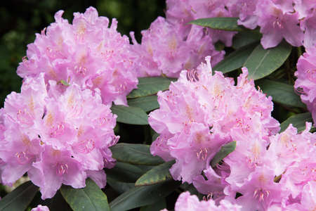 Delicate pink rhododendron flower. Flowers on a background of green leaves