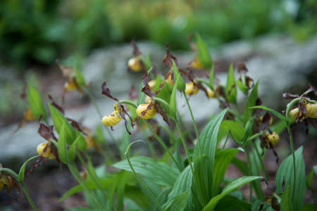 Orchids grow in the open ground. Flowering plants in a flower bed