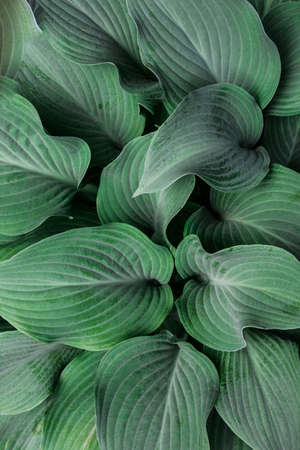 The structure of large leaves, top view. Blue color. Background, texture