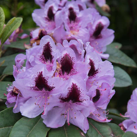 Hybrid rhododendron flowers. Beautiful pink inflorescences. Postcard, floral background