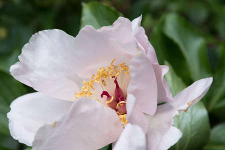 White peony close-up. A beautiful flower, pistils, stamens and pollen are visible