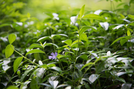 A plant with small fragrant flowers. Background, texture Stok Fotoğraf