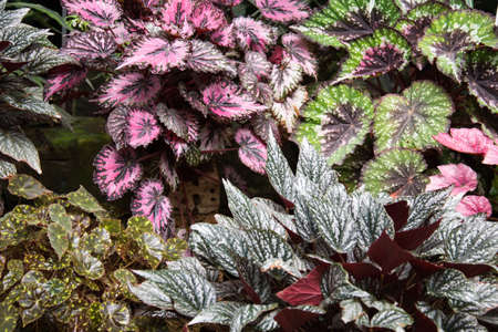 Bushes of various plants. Varieties of begonias. Different types, planted side by side. Different shapes and colors of leaves Stok Fotoğraf