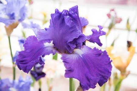 Close-up of iris flower. Violet flower of intense color