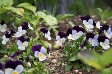 White-purple flowers in the flowerbed. Delicate flowers outdoors